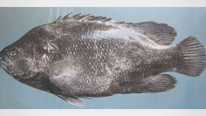 Ikan kakap batu
